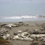 Elephant seals. Apparently it's naptime.